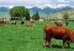 krave i trava
