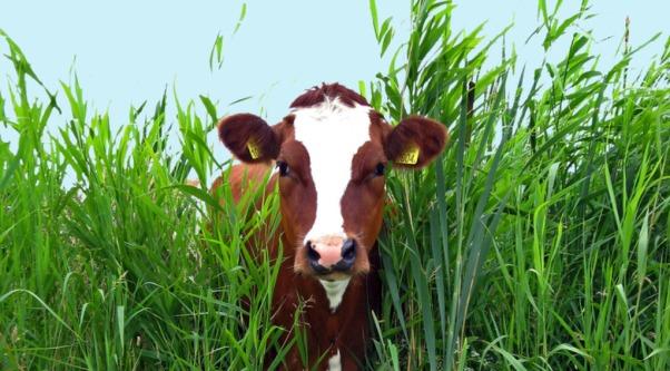 krava u travi