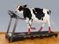 krava na fitnesu