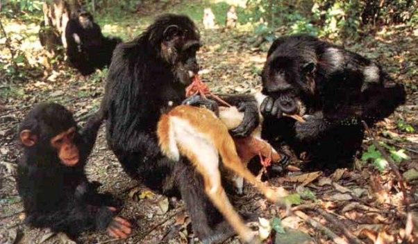 simpanze meso
